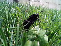 Cicada or bee like insect in the grass? - Mydas clavatus