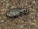 Tiger Beetle IMG_5234 - Cicindela duodecimguttata