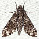 Pawpaw Sphinx - Hodges #7784 - Dolba hyloeus