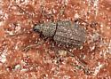 Weevil - Maybe Otiorhynchus porcatus ? - Otiorhynchus porcatus