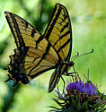 Western Tiger Swallowtail or Two tailed Swallow?  - Papilio multicaudata