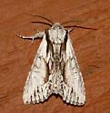 Hyppa species - Hyppa contrasta