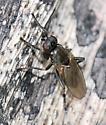 Fly - Lotophila atra