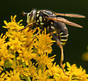 bee 3 - Spilomyia fusca