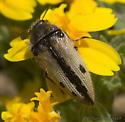 Buprestid - Acmaeodera latiflava
