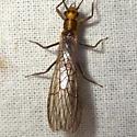 Cultus verticalis - female