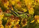 Grasshopper - Melanoplus - female
