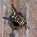 Fly? - Leucospis