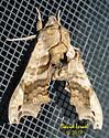Sphinx Moth - Deidamia inscriptum