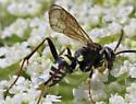 Spider Wasp  - Pompilidae - Ceropales maculata