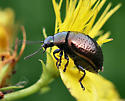 St Johnswort beetle - Chrysolina hyperici
