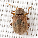 Leaf Beetle - Demotina modesta