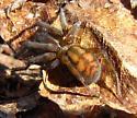 Possibly an Amaurobius spider - Callobius