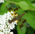 Eastern Amber-wing - Perithemis tenera - female