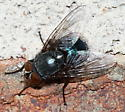 Fly - Calliphora