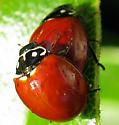Spotless Ladybird Beetle, Cycloneda sanguinea, Mating - Cycloneda sanguinea - male - female