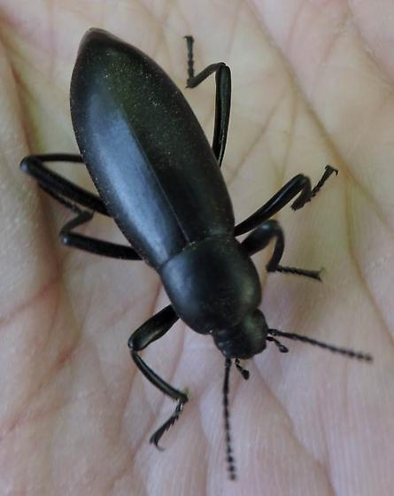 Darkling beetle from Tuscon, Arizona - Eleodes longicollis