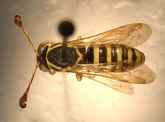 Pseudomasaris edwardsii - male