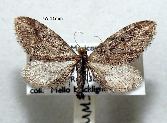 Eupithecia redingtonia - Hodges#7590 - Eupithecia redingtonia - female