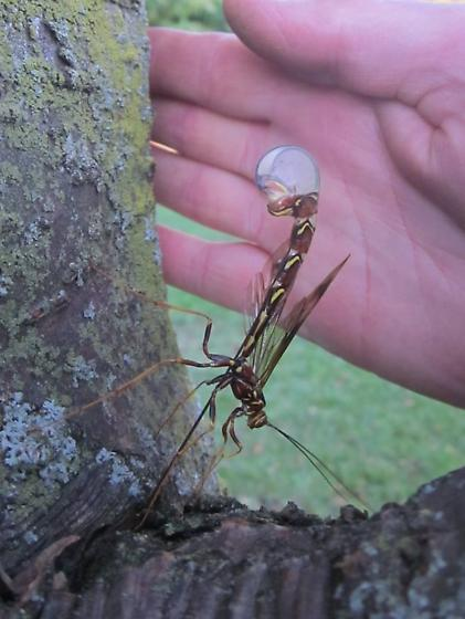Michigan southwest in a tree  - Megarhyssa macrurus