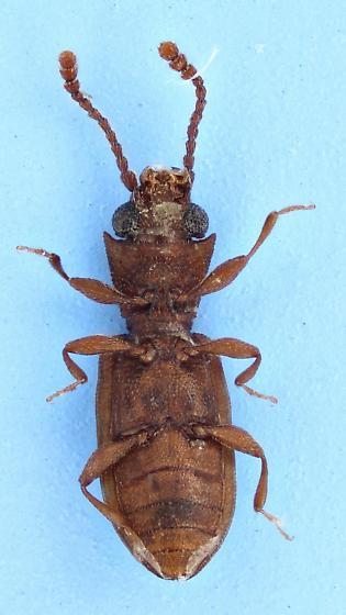 Silvanidae - Silvanoprus scuticollis