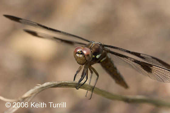 Common Whitetail Dragonfly - Plathemis lydia - female