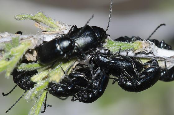 Mating Flea Beetles - Altica - male - female