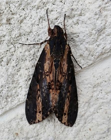 huge sphinx moth-which species? - Neococytius cluentius
