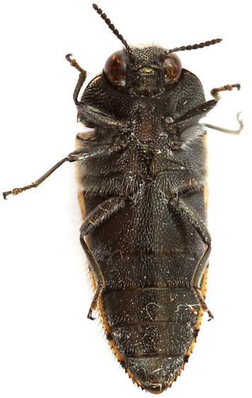 Acmaeodera scalaris? - Acmaeodera scalaris