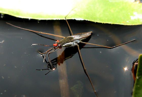water bug? - Limnoporus