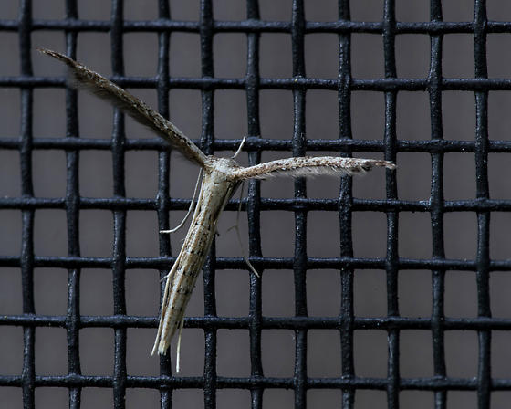 Belfrage's Plume Moth - Pselnophorus belfragei