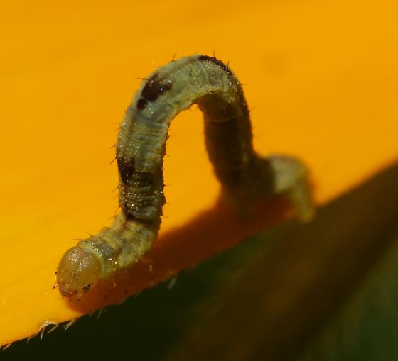 inch worm on Rudbeckia - Eupithecia