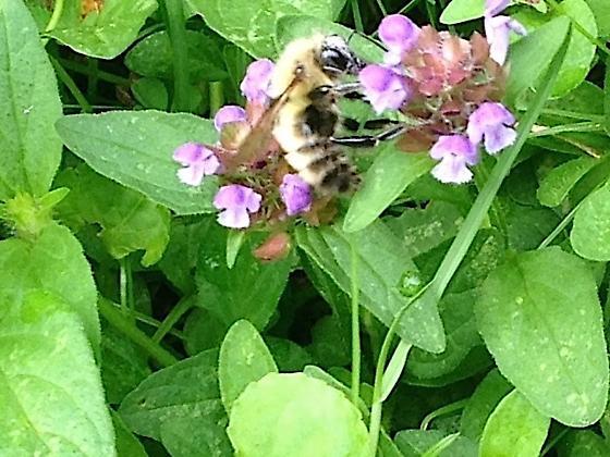 Bumble Bee - Bombus perplexus