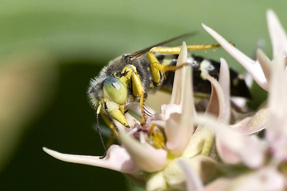 Bembicini (Sand Wasps) ? - Bembix