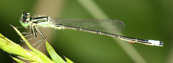 Damselfly with mites - Ischnura verticalis - male
