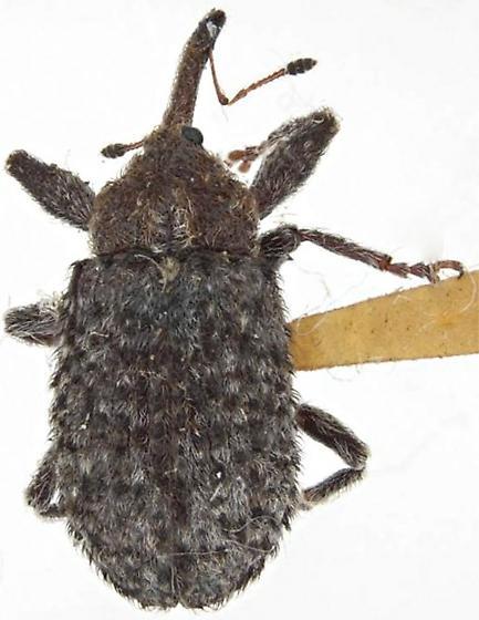Coccotorus pruniphilus