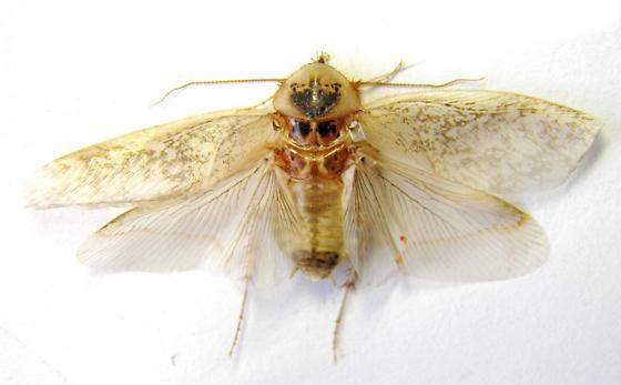 Arenivaga gnitalis out in February - Arenivaga genitalis - male