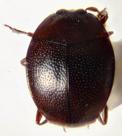 minute hister.... - Anapleus marginatus - male