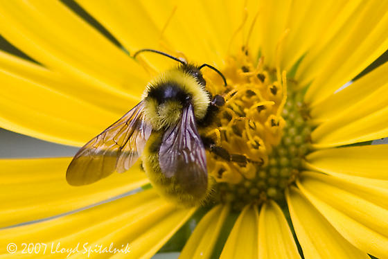 Golden Northern Bumble Bee - Bombus fervidus - male