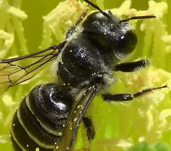 Mason Bee In Cactus Flower - Lithurgopsis apicalis - female