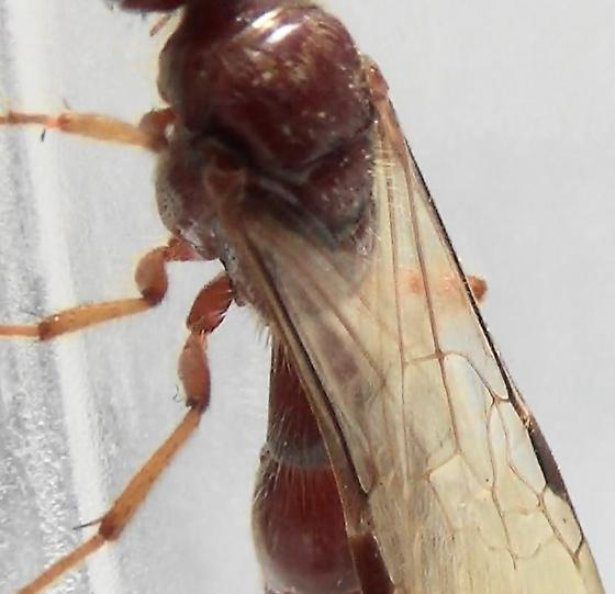 Tiphiid Wasp with Primary Submarginal Isolation (wing pattern) - Colocistis crassa - male