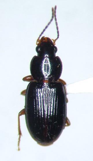 Stenolophus rotundatus - Agonoleptus rotundatus