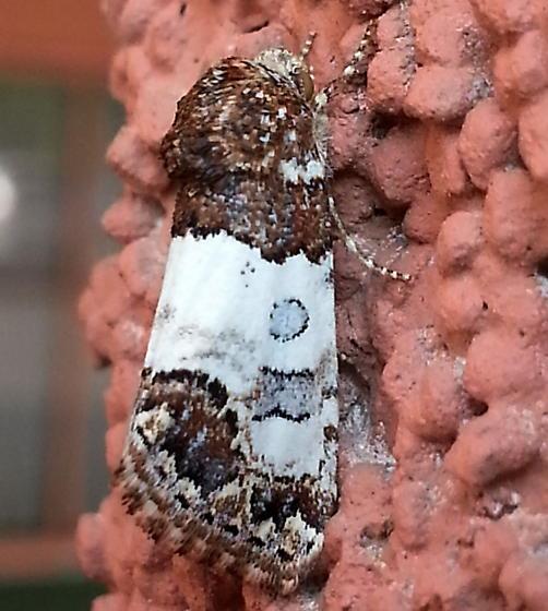 Tarache sp.? - Schinia albafascia