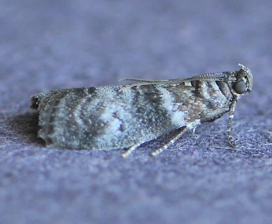 Sweetgum Leafroller - Sciota uvinella