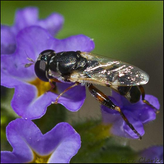 Syphidae family, Syritta pipiens ? - Syritta flaviventris