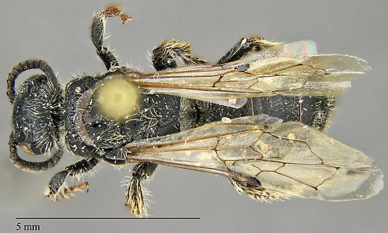 Tiphiidae?