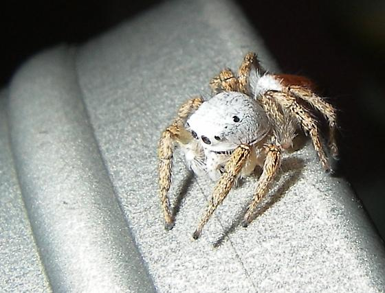 Jumping Spider - Habronattus decorus