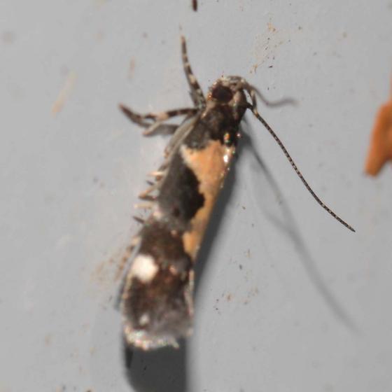 Moth - Stegasta bosqueella