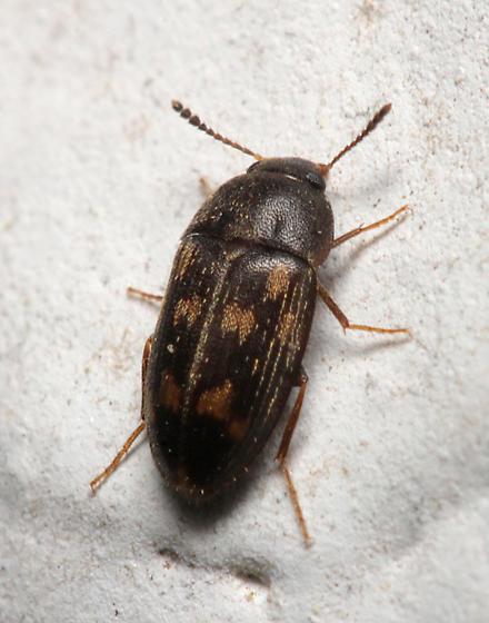 Beetle for ID - Litargus sexpunctatus