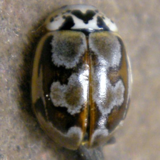 Marie Beetle - Mulsantina picta